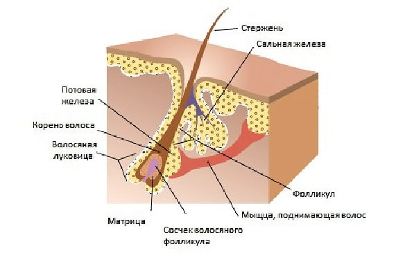 анатомия волоса - ЛазерБонус